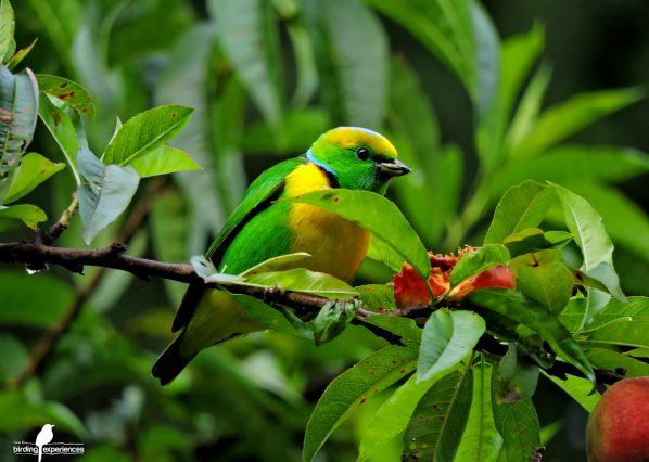 Birding-Costa-Rica-Golden-browed-chlorophonia