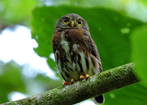 bijagua birding costa rica